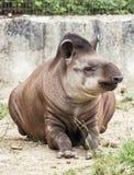 南美貘(貘类动物terrestris),动物场面 库存图片
