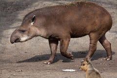 南美貘(貘类动物terrestris) 免版税库存图片