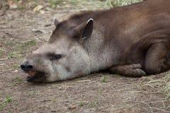 南美貘& x28; 貘类动物terrestris& x29; 免版税图库摄影