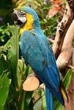 南美金刚鹦鹉画象 免版税库存图片