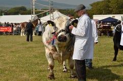 南部公牛的显示 免版税库存照片