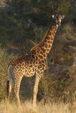 南部南部非洲的长颈鹿 库存图片