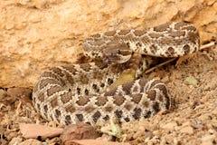 南部和平的响尾蛇 免版税库存图片