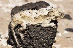 南部沙漠的有角的蜥蜴 库存照片