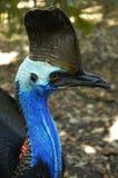 南部澳洲的食火鸡 库存照片