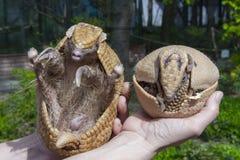 南部的三被结合的犰狳(Tolypeutes matacus) 免版税图库摄影
