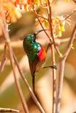 南部的二重抓住衣领口的sunbird Cinnyris chalybeus 库存照片