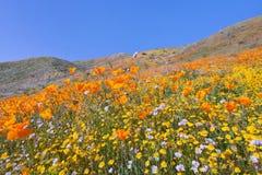 南部的加利福尼亚野花 免版税库存图片