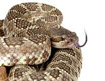 南部的和平的响尾蛇。 免版税库存图片