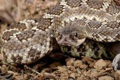 南部的和平的响尾蛇。 图库摄影