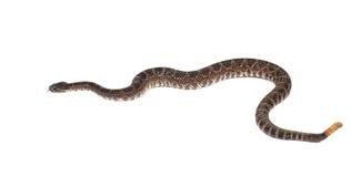 南部的和平的响尾蛇(响尾蛇viridis剑尾鱼)在前面 免版税库存照片
