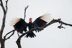 南部的地面犀鸟在克留格尔国家公园,南非 免版税库存照片