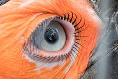 南部的地面犀鸟的眼睛 免版税库存照片