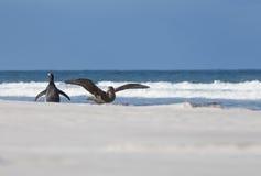 南部的巨型海燕和Gentoo企鹅在海滩 福克兰Isla 免版税库存图片