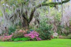 南部的庭院小橡树树垂悬的青苔杜娟花 免版税库存图片