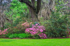 南部的庭院桃红色杜娟花 免版税库存图片