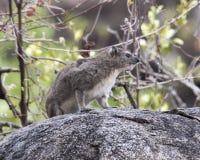 南部的树非洲蹄兔Sideview在今后看的岩石的 免版税库存图片