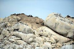 南部的海狮群在比尼亚德尔马 免版税图库摄影