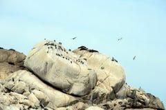 南部的海狮群在比尼亚德尔马 库存照片