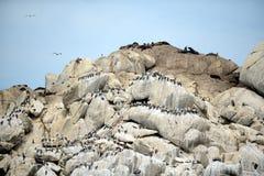 南部的海狮群在比尼亚德尔马 库存图片