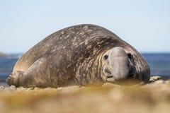 南部的海象(Mirounga leonina)男性海滩大师 库存图片