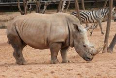 南部的白犀牛-白犀属simum 库存图片