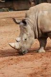 南部的白犀牛-白犀属simum 免版税图库摄影