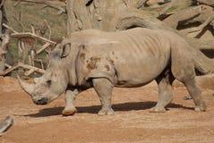南部的白犀牛-白犀属simum simum 免版税图库摄影