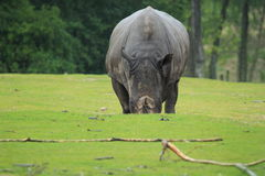 南部的白犀牛 免版税库存照片