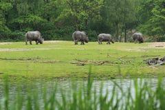 南部的白犀牛 免版税库存图片