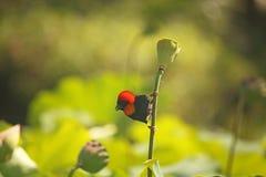 南部的红色主教MALE BIRD CLINGING TO莲花百合种子荚的词根 图库摄影
