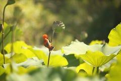 南部的红色MALE BIRD ON A主教莲花荚词根 免版税库存照片