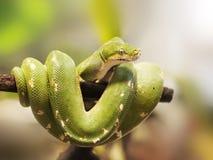 南部的绿色Python -墨瑞利亚viridis -在分支 免版税库存照片