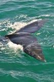 南部的脊美鲸尾巴以绿色 免版税图库摄影