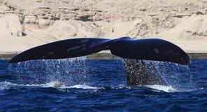 南部的脊美鲸,半岛瓦尔德斯,阿根廷 库存图片