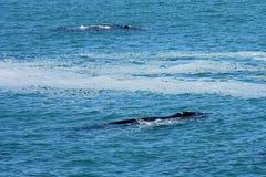 南部的脊美鲸,赫曼努斯,南非 库存图片