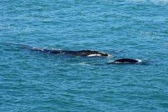 南部的脊美鲸&小牛,赫曼努斯,南非 免版税库存图片