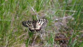 南部的花彩蝴蝶在它的栖所-位于中央乌克兰的领域的 股票视频