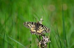 南部的花彩蝴蝶 免版税库存图片