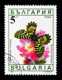 南部的花彩Zerynthia polyxena,蝴蝶serie,大约1990年 库存照片