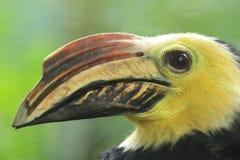 南部的苏拉威西岛tarictic犀鸟 图库摄影