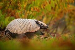 南部的赤裸被盯梢的犰狳, Cabassous unicinctus,与壳在自然栖所,潘塔纳尔湿地,巴西的奇怪的罕见的动物 库存照片