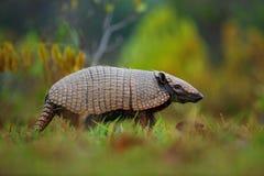 南部的赤裸被盯梢的犰狳, Cabassous unicinctus,潘塔纳尔湿地,巴西 免版税图库摄影