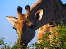 南部的长颈鹿 库存照片