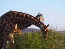 南部的长颈鹿 免版税库存照片