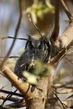 南部的面无血色的猫头鹰雏鸟 库存照片