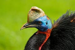 南部的食火鸡, Casuarius casuarius,亦称二重wattled食火鸡,澳大利亚大森林鸟,细节暗藏的portrai 免版税库存照片