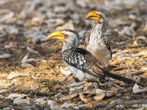 南部的黄色开帐单的犀鸟对 免版税库存照片