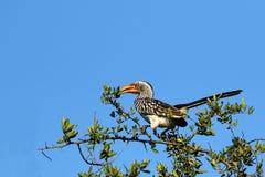 南部的黄色开帐单的犀鸟,克留格尔国家公园,南非 免版税库存照片