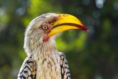 南部的黄色开帐单的犀鸟,克留格尔国家公园,南Afr 免版税库存照片